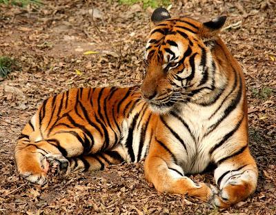 Foto Harimau Cina Selatan