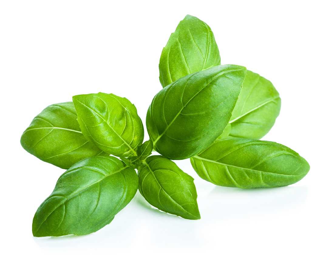 Cultivo loco usos de la albahaca en el cultivo de cannabis for Cultivo de albahaca en interior