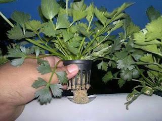 tips-cuci-ginjal-alamiah