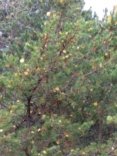 evergreen tree with autumn leaves