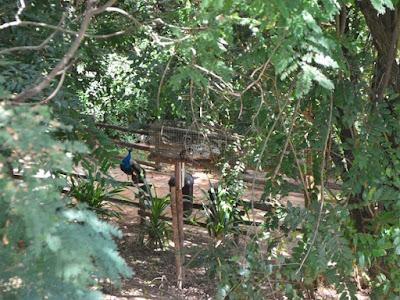Onça pintada e pavão no zoológico fechado de Paulínia, SP (Foto: Carlos Alciati Neto/ G1).