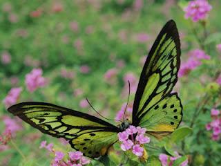Alexandra királyné pillangó