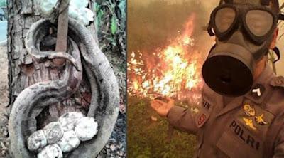 [Citizen6] Kebakaran Hutan, Ular Ini Ditemukan Mati Melindungi Telurnya