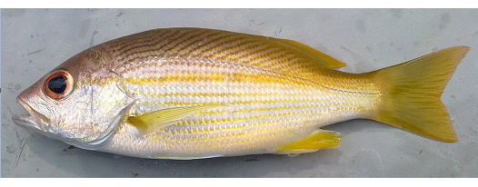 Indian Snapper