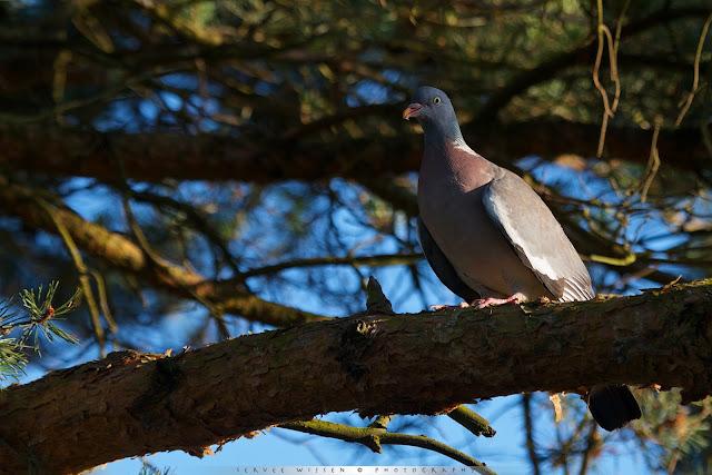 Houtduif zit eerste rang - Wood Pigeon at front row - Columba palumbus