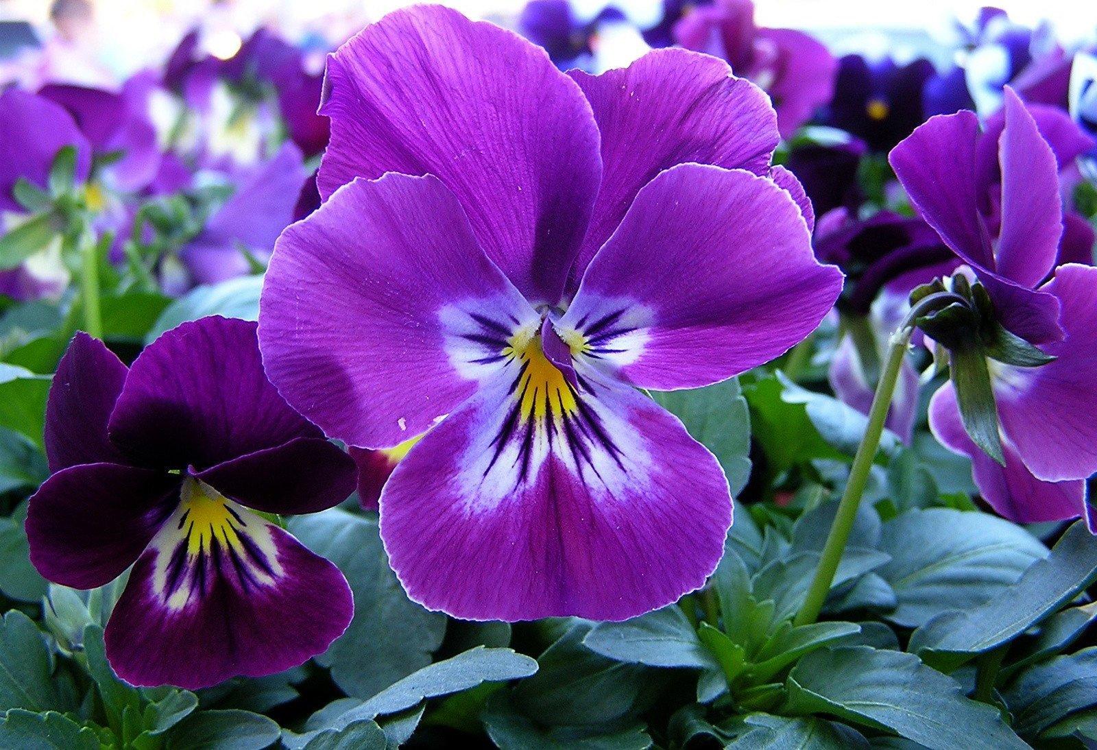 Flores púrpura glicinas en primavera Fotos stock e  - Imagenes De Flores Purpura