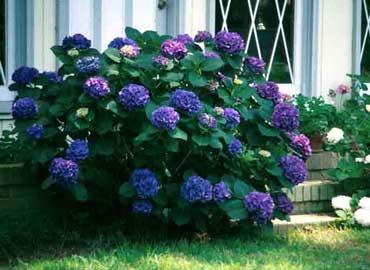 El club de la familia la hortensia su cuidado mes a mes - Como podar la hortensia ...
