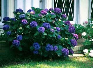 El club de la familia la hortensia su cuidado mes a mes - Cuidado de las hortensias ...
