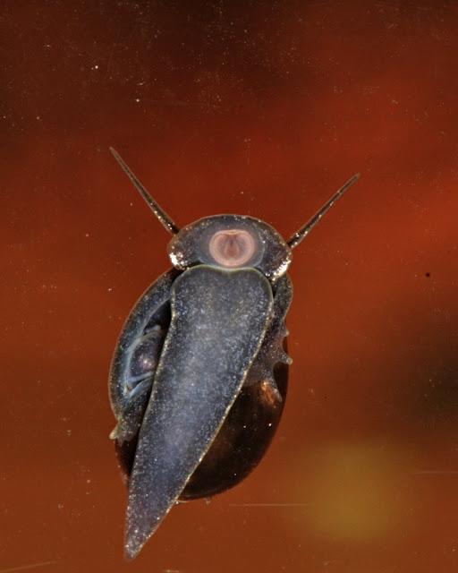 freshwater snail scraping algae