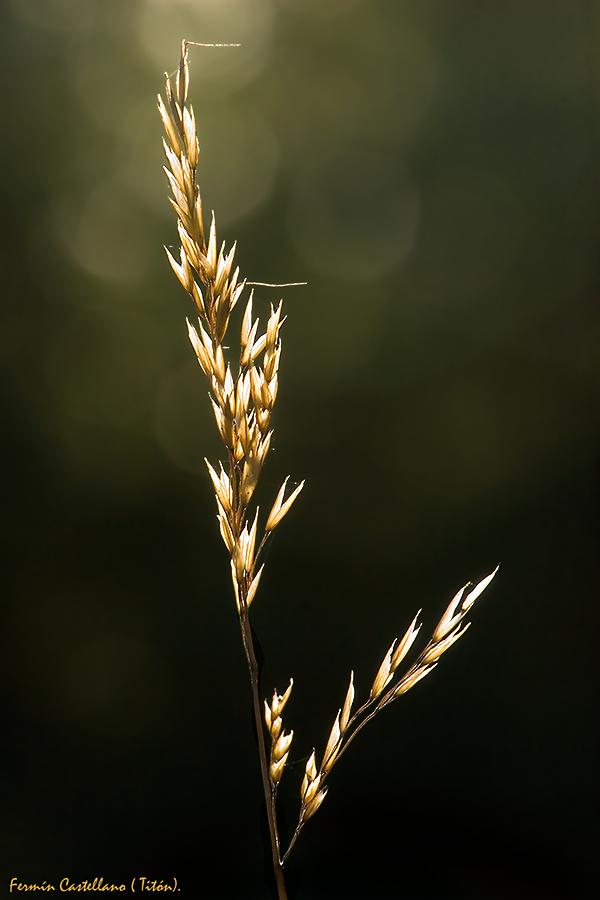 Hierba seca a contraluz