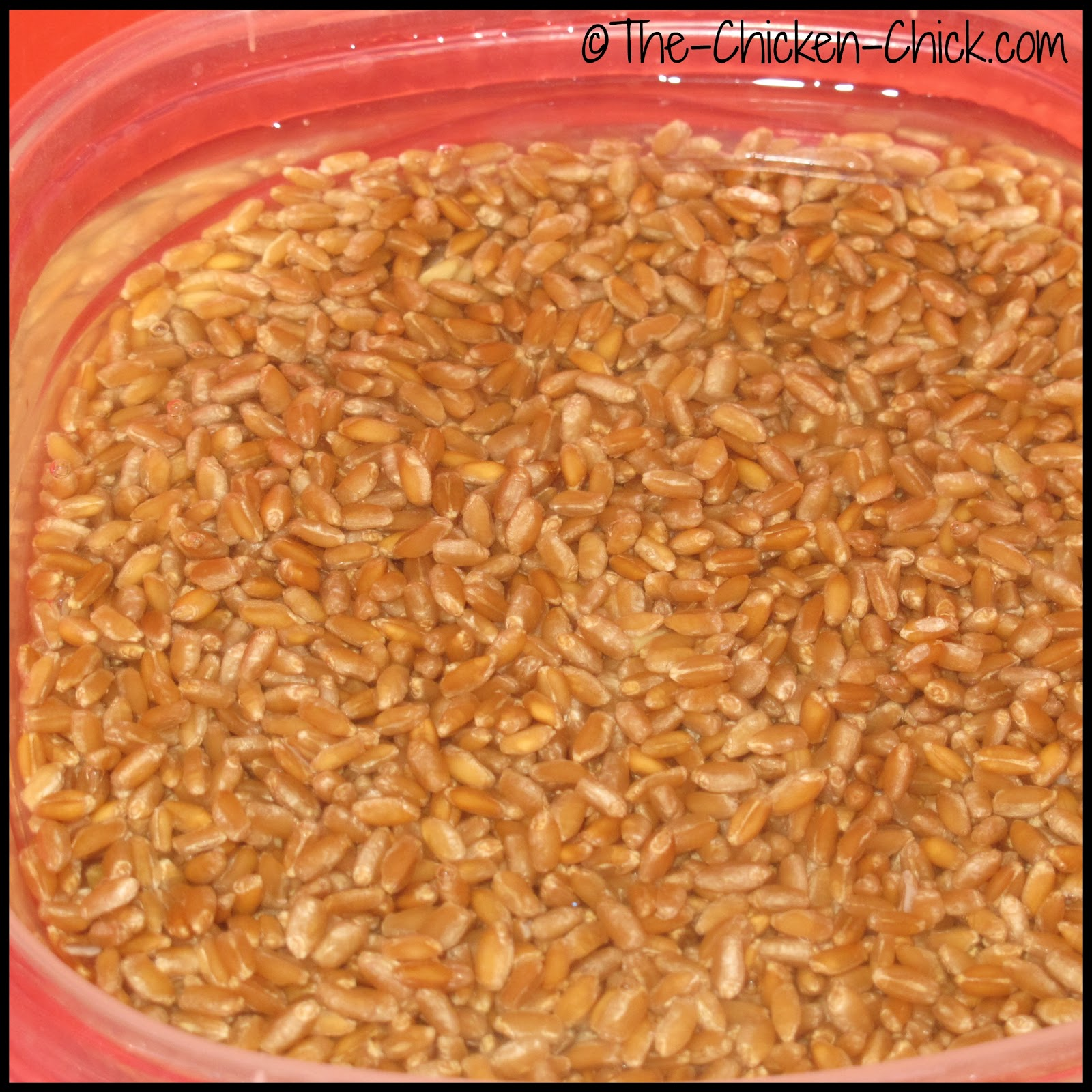 Soaking wheat grains overnight to sprout for chickens