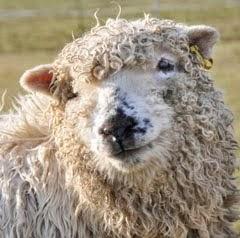 Ushy's Sheep