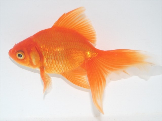 Fantail goldfish - photo#6