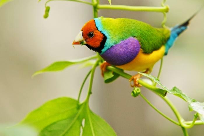 A foto em fundo claro esfumaçado mostra um pássaro de pequeno porte pousado em um galho verde, fino com um tufo de folhas na extremidade. O pequeno Diamante de Gould tem uma plumagem densa, cabeça e cara em ocre delineados por uma linha preta circundado em azul claro abrangendo o pescoço; olho redondo preto, bico curto branco com a ponta avermelhada. As costas em degradée do amarelo ao verde escuro, tórax e peito em roxo, abdômen em amarelo vibrante e a cauda arrebitada em azul turquesa com a extremidade em preto.