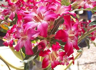 klasifikasi bunga kamboja