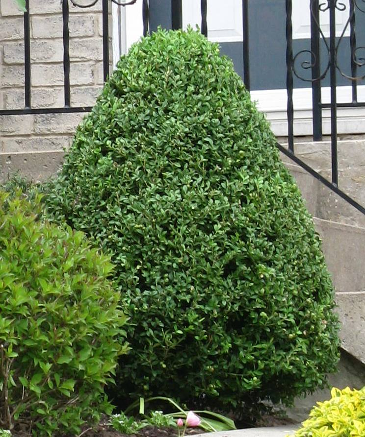 White swan homes and gardens boxwoods for ontario landscapes for Small sized evergreen trees