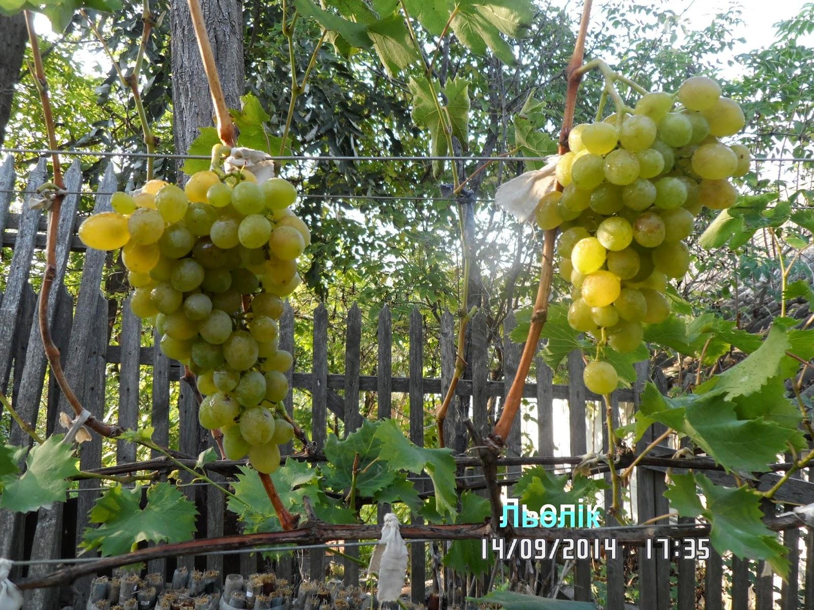 Виноград ливия  описание