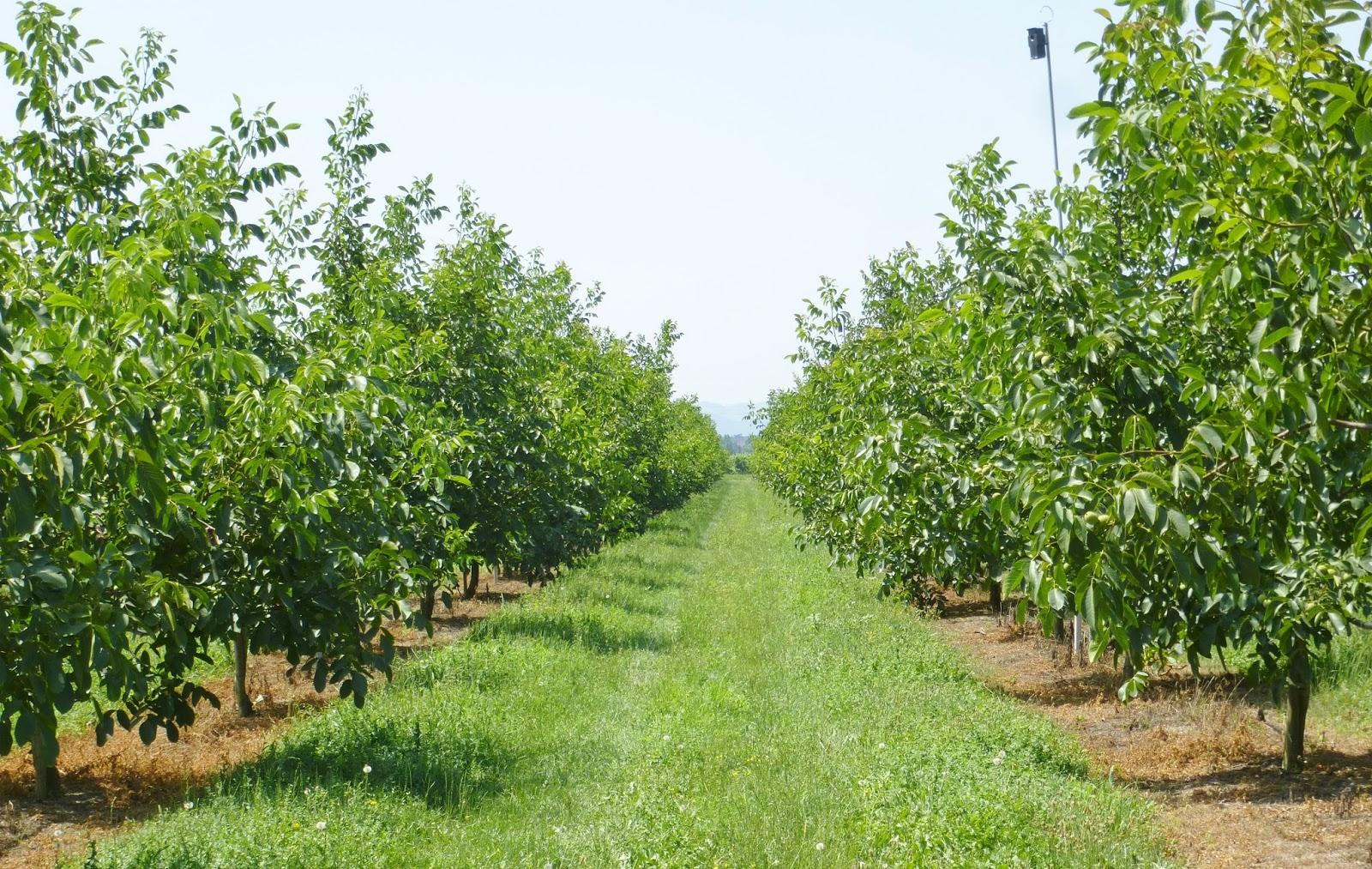 Piante Di Noce : Agriculture consulting agronomist dell agronomo vito