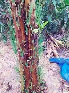 Tanaman Bawang di batang Pohon Pisang
