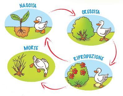 Ciclo Vitale Disegni Sulla Fase Di Crescita