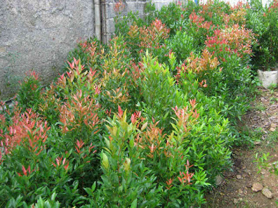 pucuk merah bunga pucuk merah  jual pucuk merah  budidaya tanaman pucuk merah   Pucuk Merah