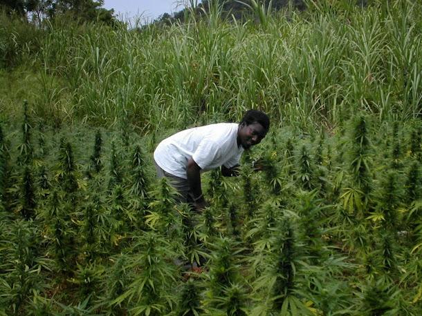 Jamaica vai descriminalizar maconha