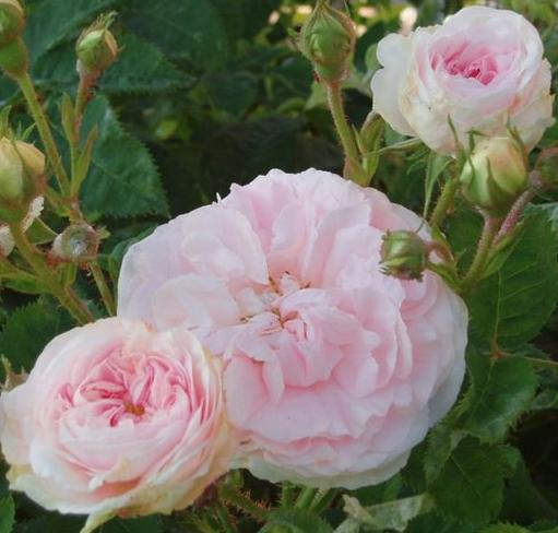 http://fr.wikipedia.org/wiki/Rose_%28fleur%29