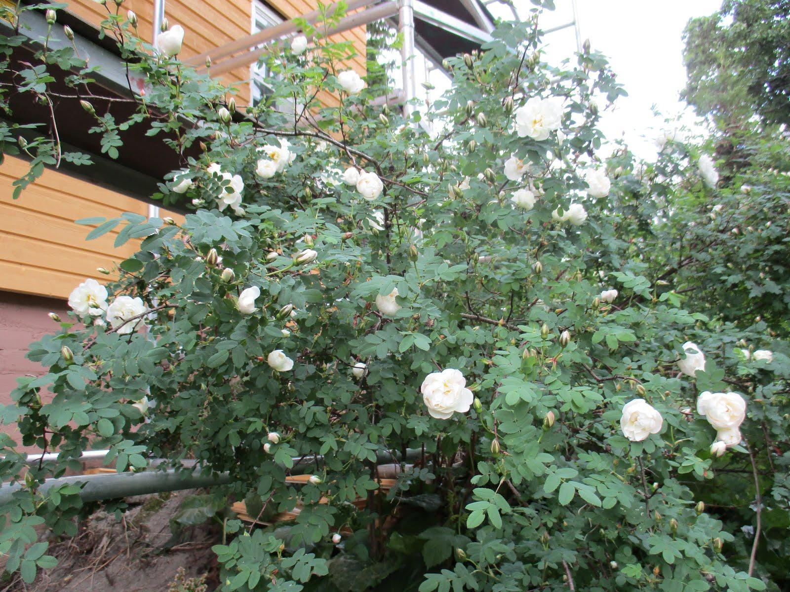 Juhannusruusu ennätysaikaisin kukassa