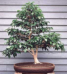 todo bonsai ficha ficus benjamina. Black Bedroom Furniture Sets. Home Design Ideas