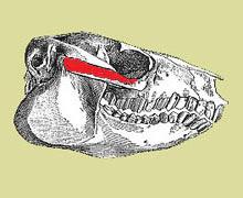 Protypotherium skull