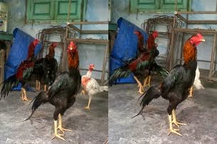 Jual Ayam Aduan Kontes: Bangkok, Birma, Mangon, Pama, Pakhoy, Khoythai, Birkok dll