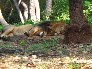 African Lion taking rest