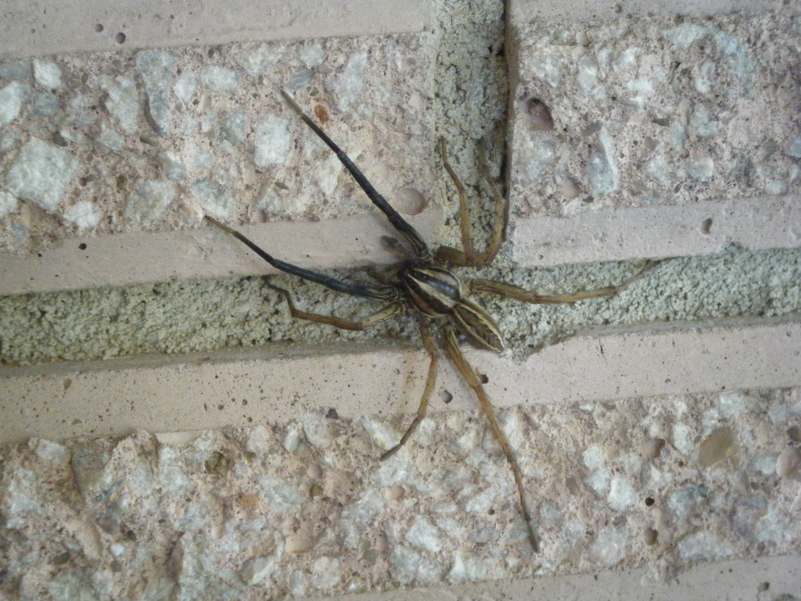 Windy Acres Diary: Harmless Wolf Spider