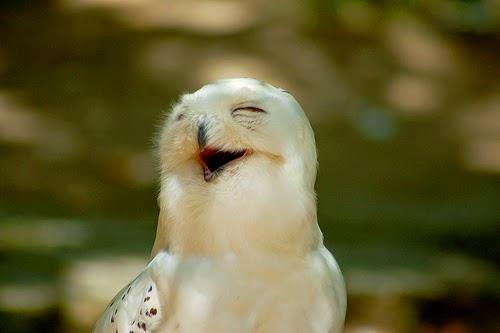 Laughing owl, animal bird