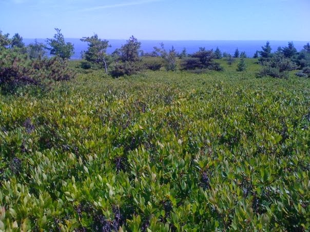Wild Blueberry Fields at Sam's Point