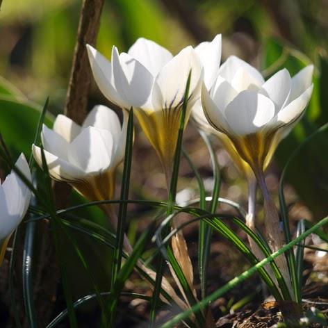 Krokus i haven er en af forårets helt store oplevelser