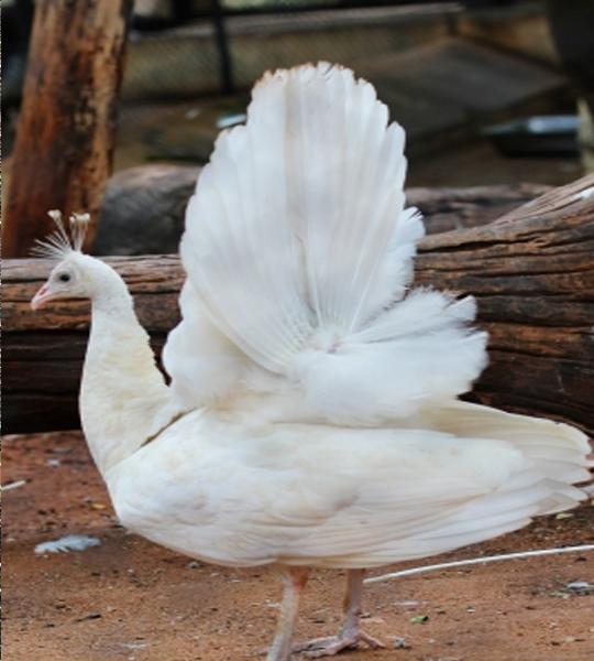 ... wallpaper burung merak tercantik foto burung merak ukuran besar