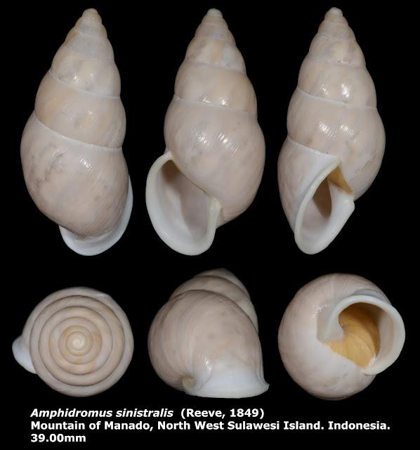 Amphidromus sinistralis 39.00mm