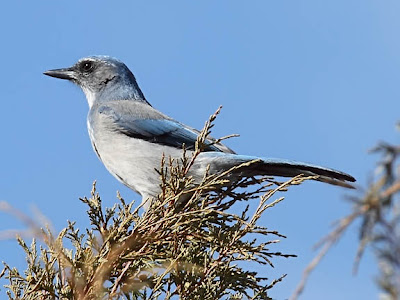 Western Scrub-jay