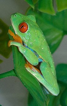 red eyed tree frog, red-eye tree frog
