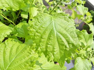 Shiso plant