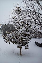 χιονισμενη μανολια