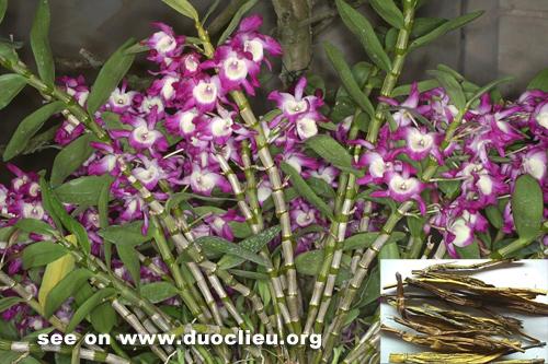 Dendrobium nobile Lindl.