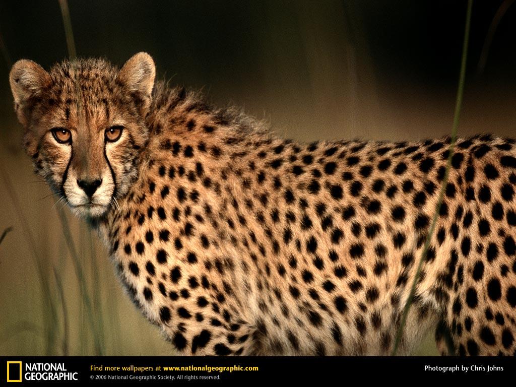 http://1.bp.blogspot.com/-J7VNNBcUmQw/UFXmitxi5nI/AAAAAAAAEN0/MJsBuJ5sJPg/s1600/cheetah-closeup.jpg
