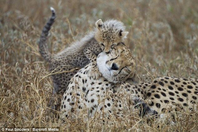 Photographer captures heartwarming moment cheetah cub hitched a ride off a sibling (Photos)