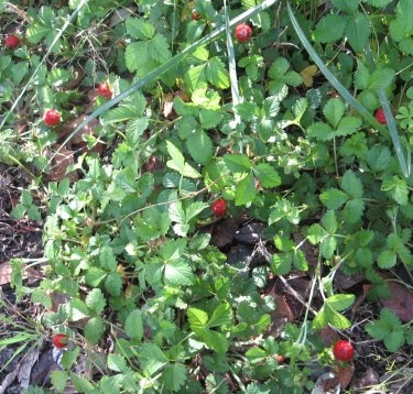 strawberry plants with new strawberries