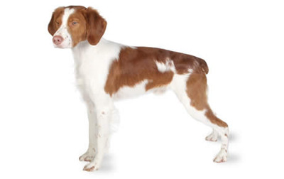 Brittany Dog Pictures 3