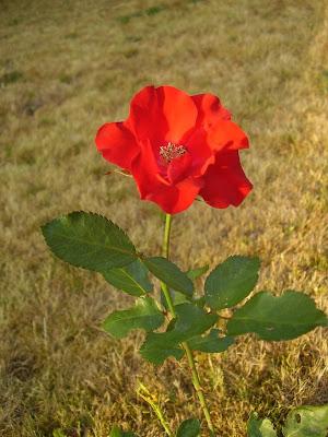 Eigene Rosenzüchtung