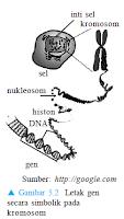 Gambar letak gen pada kromosom