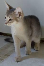 Silver Abyssinian Cat